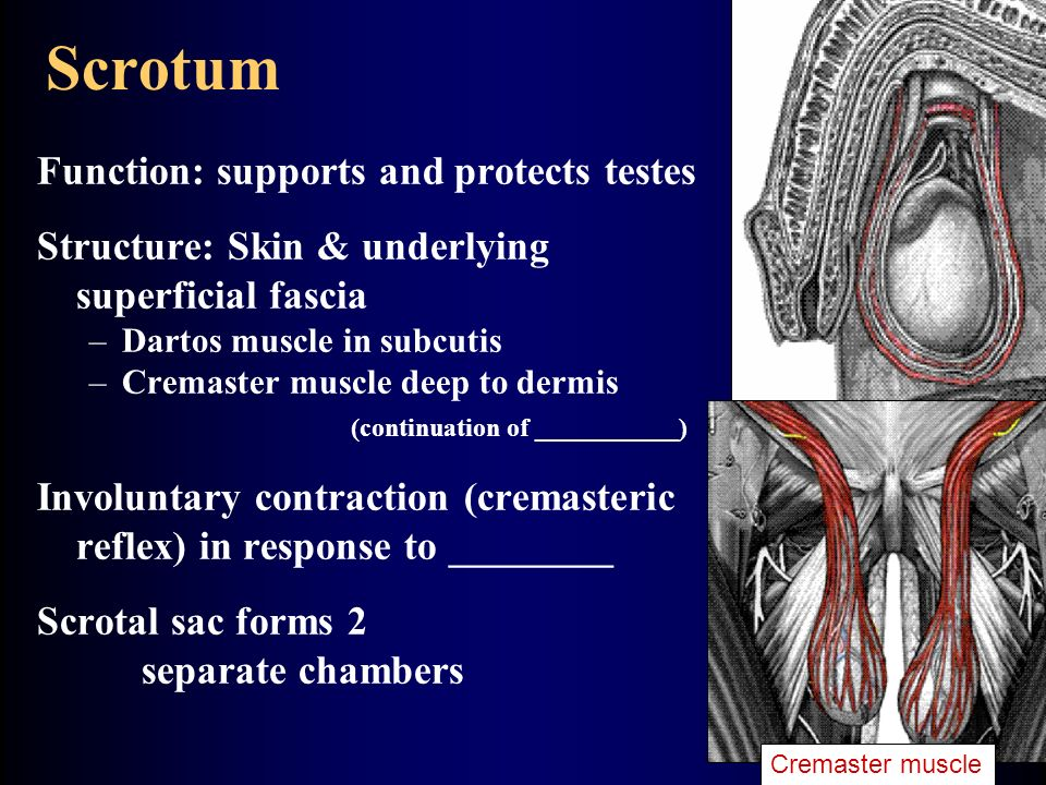 Scrotum Function: supports and protects testes Structure: Skin & underlying superficial fascia –Dartos muscle in subcutis –Cremaster muscle deep to dermis (continuation of ___________) Involuntary contraction (cremasteric reflex) in response to ________ Scrotal sac forms 2 separate chambers Cremaster muscle