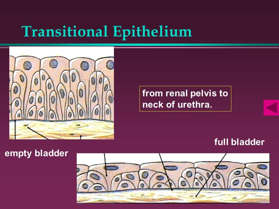 Transitional Epithelium empty bladder full bladder from renal pelvis to neck of urethra.