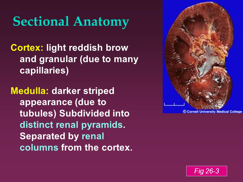 Sectional Anatomy Cortex: light reddish brow and granular (due to many capillaries) Medulla: darker striped appearance (due to tubules) Subdivided int