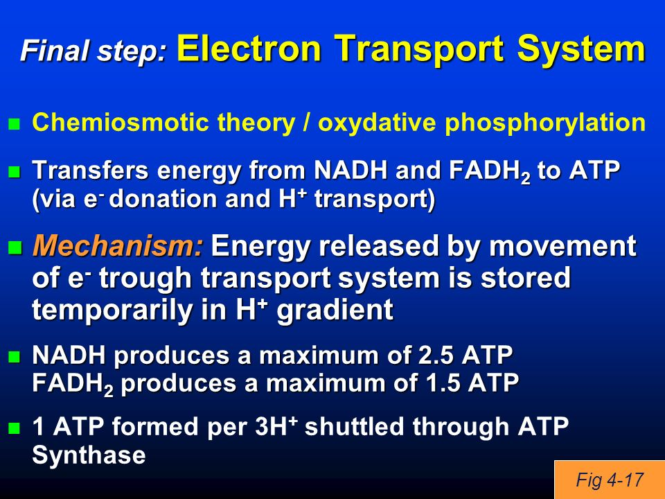 Final step: Electron Transport System Chemiosmotic theory / oxydative phosphorylation Transfers energy from NADH and FADH 2 to ATP (via e - donation and H + transport) Transfers energy from NADH and FADH 2 to ATP (via e - donation and H + transport) Mechanism: Energy released by movement of e - trough transport system is stored temporarily in H + gradient Mechanism: Energy released by movement of e - trough transport system is stored temporarily in H + gradient NADH produces a maximum of 2.5 ATP FADH 2 produces a maximum of 1.5 ATP NADH produces a maximum of 2.5 ATP FADH 2 produces a maximum of 1.5 ATP 1 ATP formed per 3H + shuttled through ATP Synthase Fig 4-17