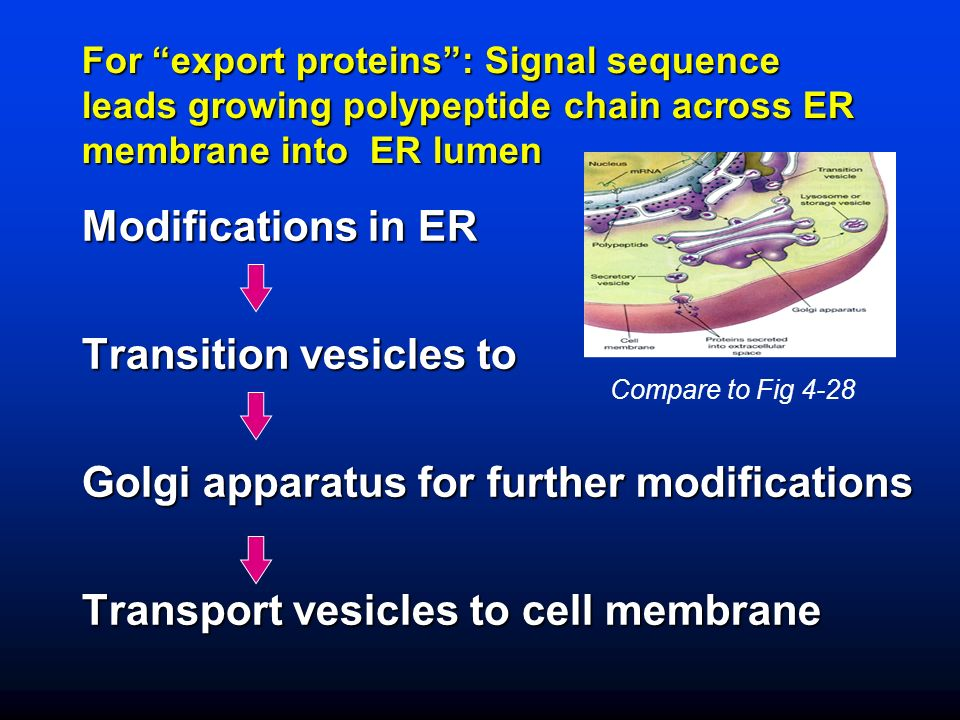 For export proteins: Signal sequence leads growing polypeptide chain across ER membrane into ER lumen Modifications in ER Transition vesicles to Golgi apparatus for further modifications Transport vesicles to cell membrane Compare to Fig 4-28