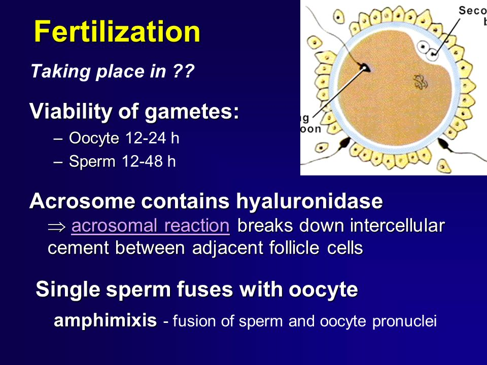 Fertilization Taking place in ?? Viability of gametes: –Oocyte –Oocyte 12-24 h –Sperm –Sperm 12-48 h Acrosome contains hyaluronidase acrosomal reactio