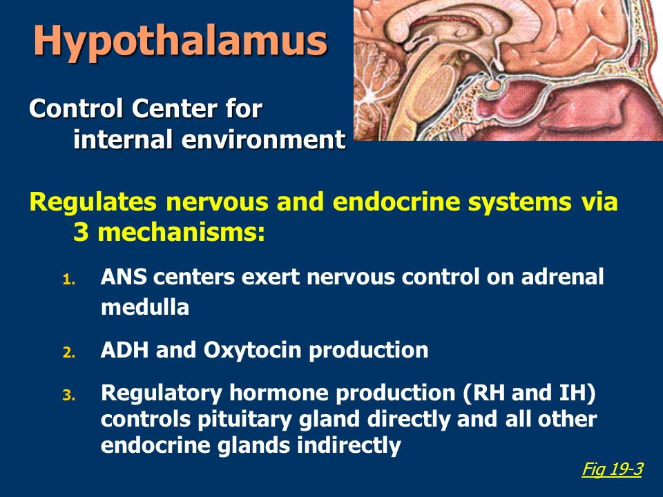 Hypothalamus Control Center for internal environment Regulates nervous and endocrine systems via 3 mechanisms: 1.