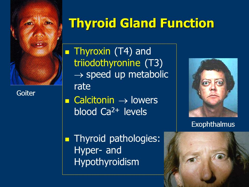 Thyroid Gland Function Thyroxin (T4) and triiodothyronine (T3) speed up metabolic rate Calcitonin lowers blood Ca 2+ levels n n Thyroid pathologies: Hyper- and Hypothyroidism Goiter Exophthalmus