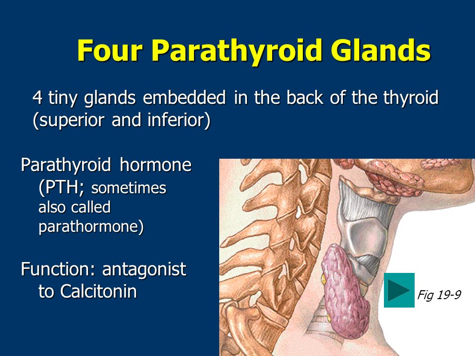 Four Parathyroid Glands Parathyroid hormone (PTH; sometimes also called parathormone) Function: antagonist to Calcitonin Fig 19-9 4 tiny glands embedded in the back of the thyroid (superior and inferior)
