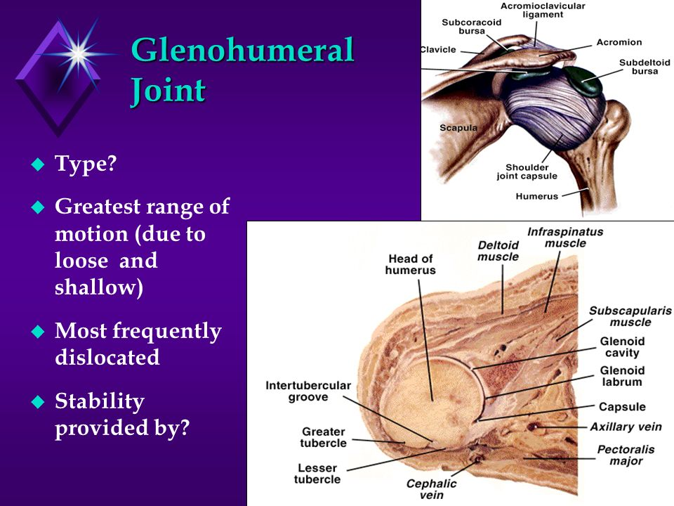 Glenohumeral Joint Type? Greatest range of motion (due to loose and shallow) Most frequently dislocated Stability provided by?
