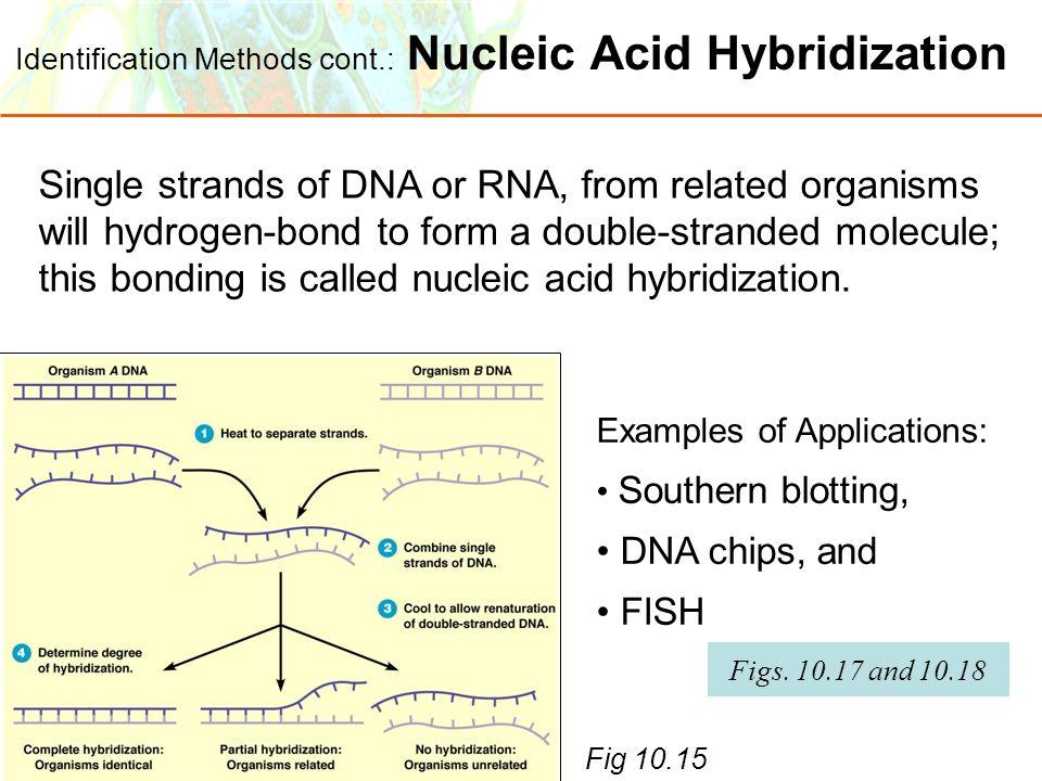 Copyright © 2006 Pearson Education, Inc., publishing as Benjamin Cummings Identification Methods cont.: Nucleic Acid Hybridization Fig 10.15 Single st
