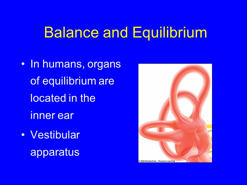 Balance and Equilibrium In humans, organs of equilibrium are located in the inner ear Vestibular apparatus