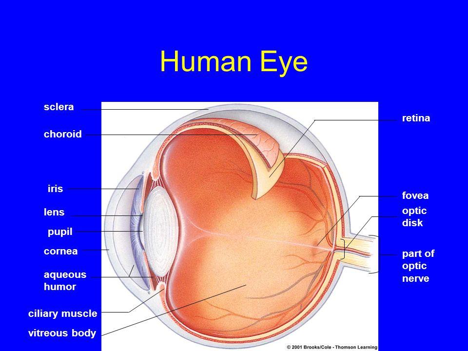 Human Eye sclera choroid iris lens pupil cornea aqueous humor ciliary muscle vitreous body retina fovea optic disk part of optic nerve