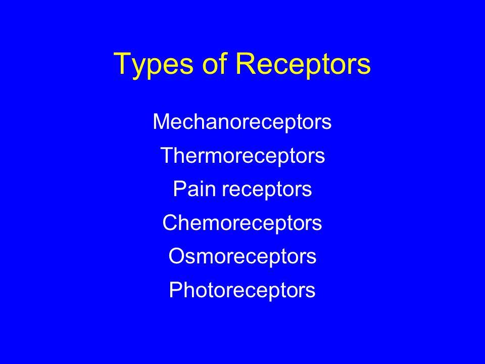 Types of Receptors Mechanoreceptors Thermoreceptors Pain receptors Chemoreceptors Osmoreceptors Photoreceptors