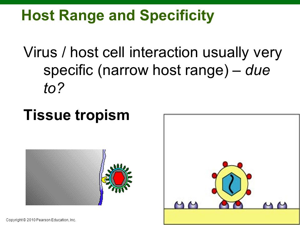 Copyright © 2010 Pearson Education, Inc. Host Range and Specificity Virus / host cell interaction usually very specific (narrow host range) – due to?