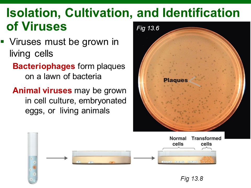 Copyright © 2010 Pearson Education, Inc. Isolation, Cultivation, and Identification of Viruses Viruses must be grown in living cells Bacteriophages fo
