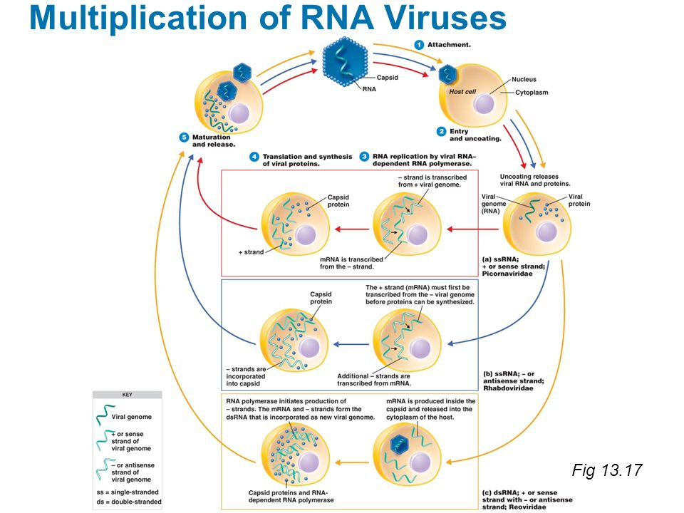 Fig 13.17 Multiplication of RNA Viruses