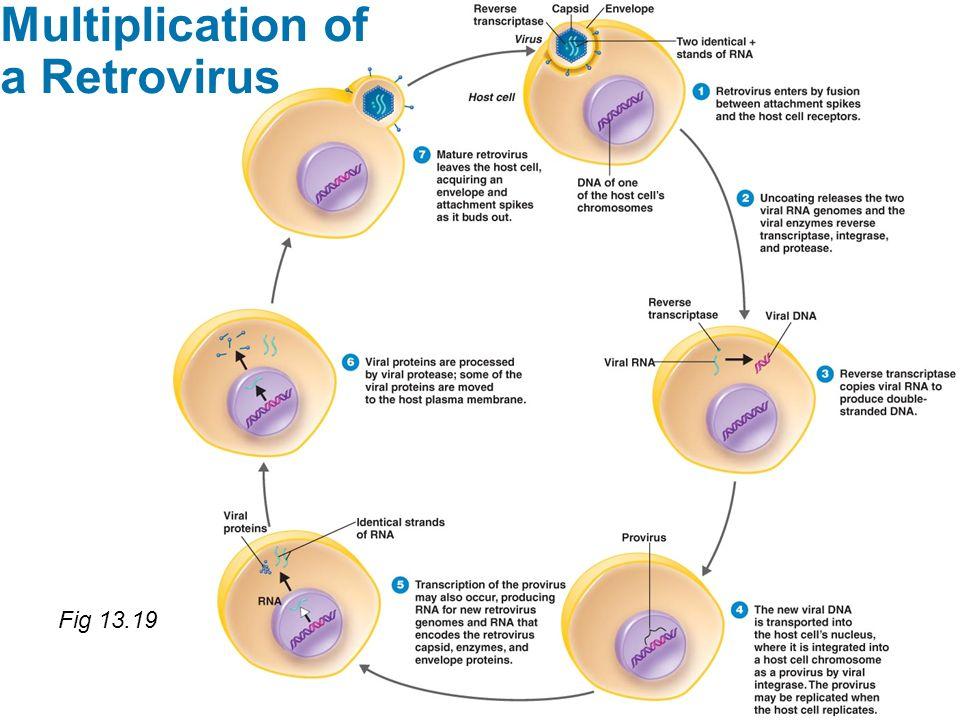 Fig 13.19 Multiplication of a Retrovirus