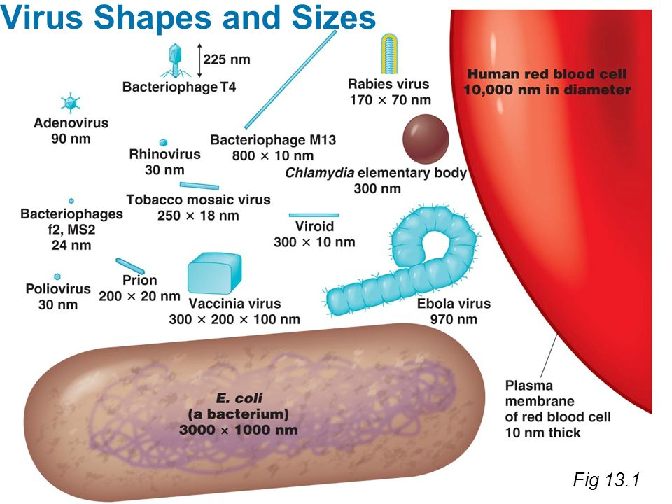 Fig 13.1 Virus Shapes and Sizes