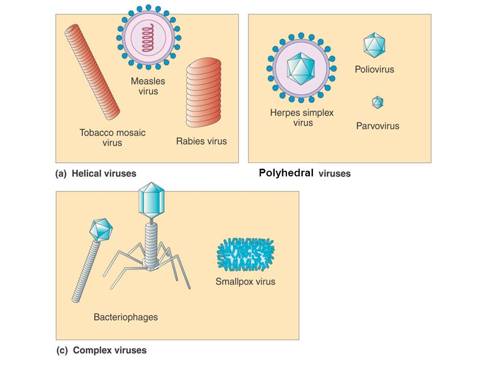 Copyright © 2010 Pearson Education, Inc. 4 Lytic Cycle of a T-Even Bacteriophage Fig 13.11