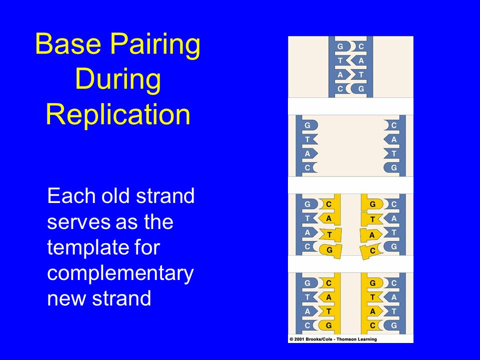 Base Pairing During Replication Each old strand serves as the template for complementary new strand