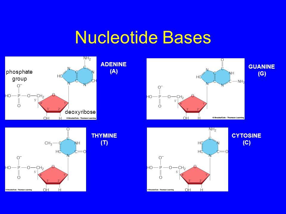 Nucleotide Bases phosphate group deoxyribose ADENINE (A) THYMINE (T) CYTOSINE (C) GUANINE (G)