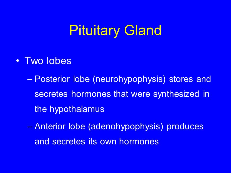 Pituitary Gland Two lobes –Posterior lobe (neurohypophysis) stores and secretes hormones that were synthesized in the hypothalamus –Anterior lobe (ade