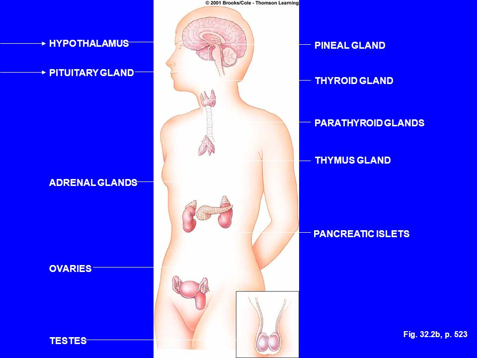 Fig. 32.2b, p. 523 HYPOTHALAMUS PITUITARY GLAND ADRENAL GLANDS OVARIES TESTES PINEAL GLAND THYROID GLAND PARATHYROID GLANDS THYMUS GLAND PANCREATIC IS