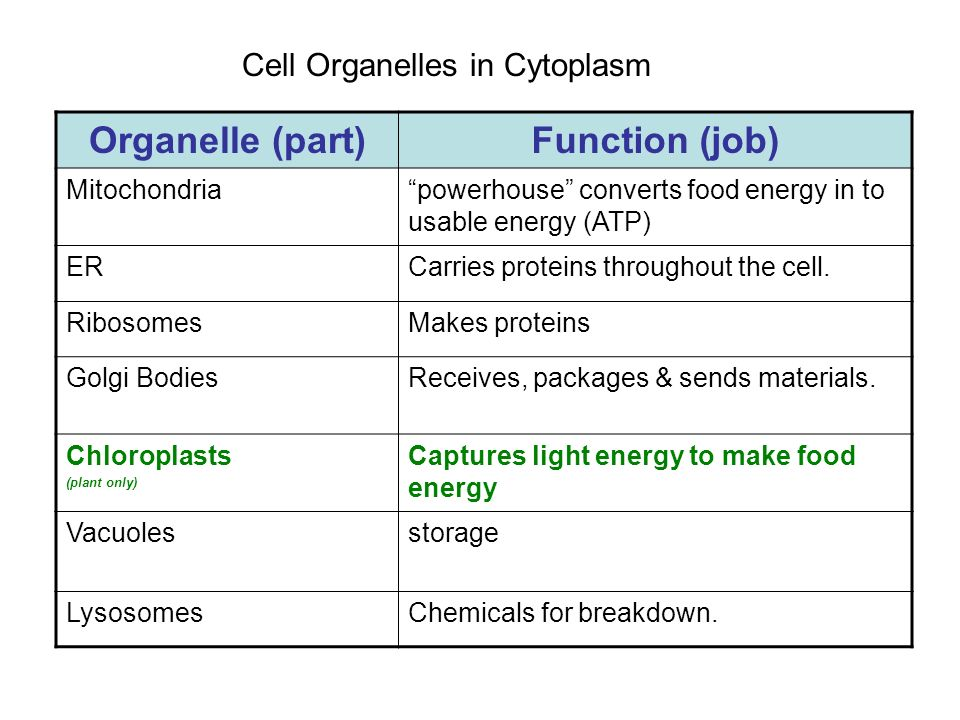 Cell Organelles in Cytoplasm Organelle (part)Function (job) Mitochondriapowerhouse converts food energy in to usable energy (ATP) ERCarries proteins t