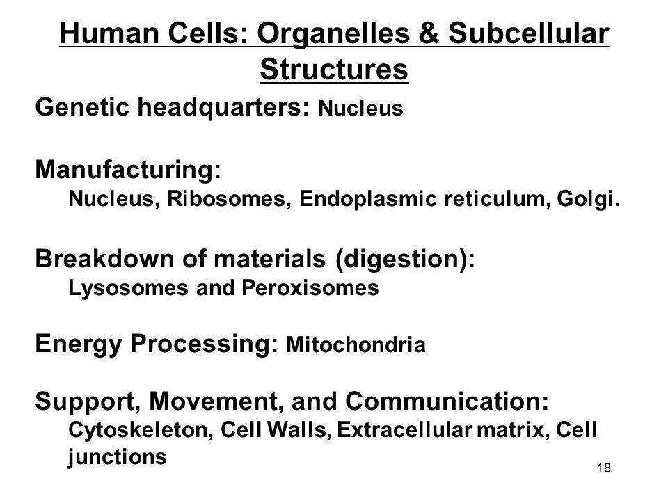 18 Human Cells: Organelles & Subcellular Structures Genetic headquarters: Nucleus Manufacturing: Nucleus, Ribosomes, Endoplasmic reticulum, Golgi. Bre
