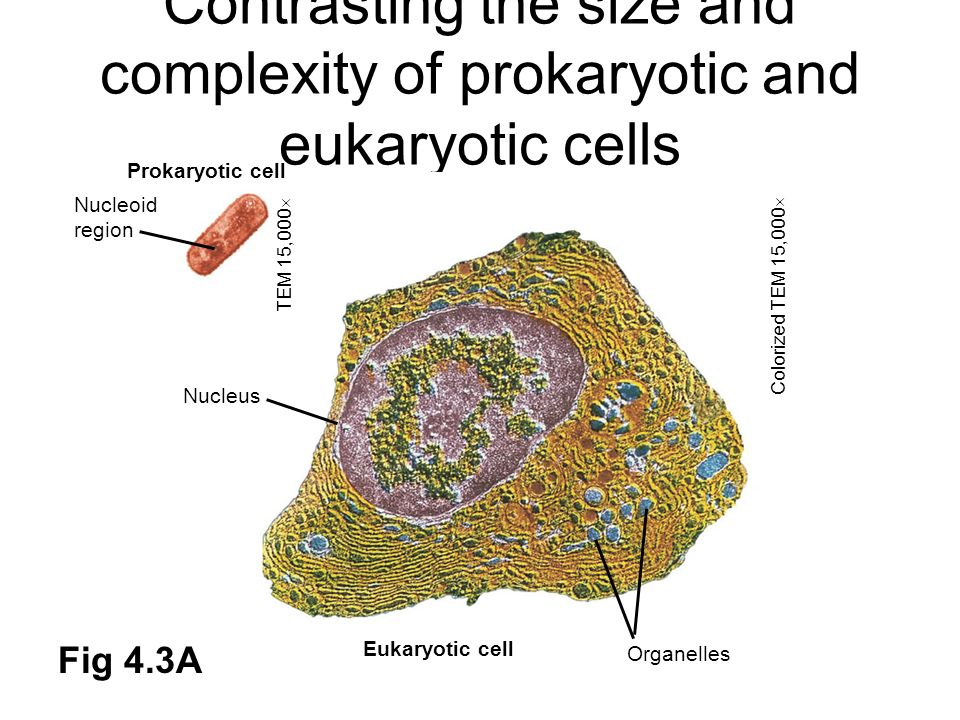 Contrasting the size and complexity of prokaryotic and eukaryotic cells Prokaryotic cell Nucleoid region Nucleus Eukaryotic cell Organelles TEM 15,000