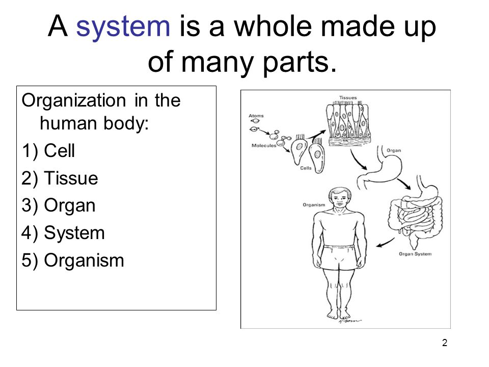 2 A system is a whole made up of many parts. Organization in the human body: 1) Cell 2) Tissue 3) Organ 4) System 5) Organism