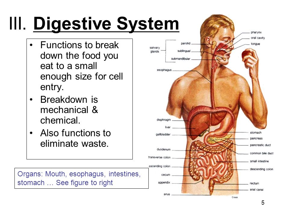 5 III. Digestive System Functions to break down the food you eat to a small enough size for cell entry. Breakdown is mechanical & chemical. Also funct
