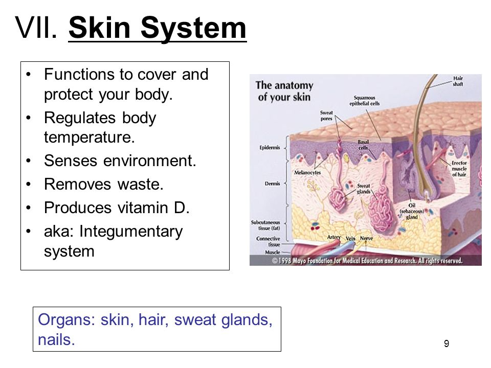 9 VII. Skin System Functions to cover and protect your body. Regulates body temperature. Senses environment. Removes waste. Produces vitamin D. aka: I