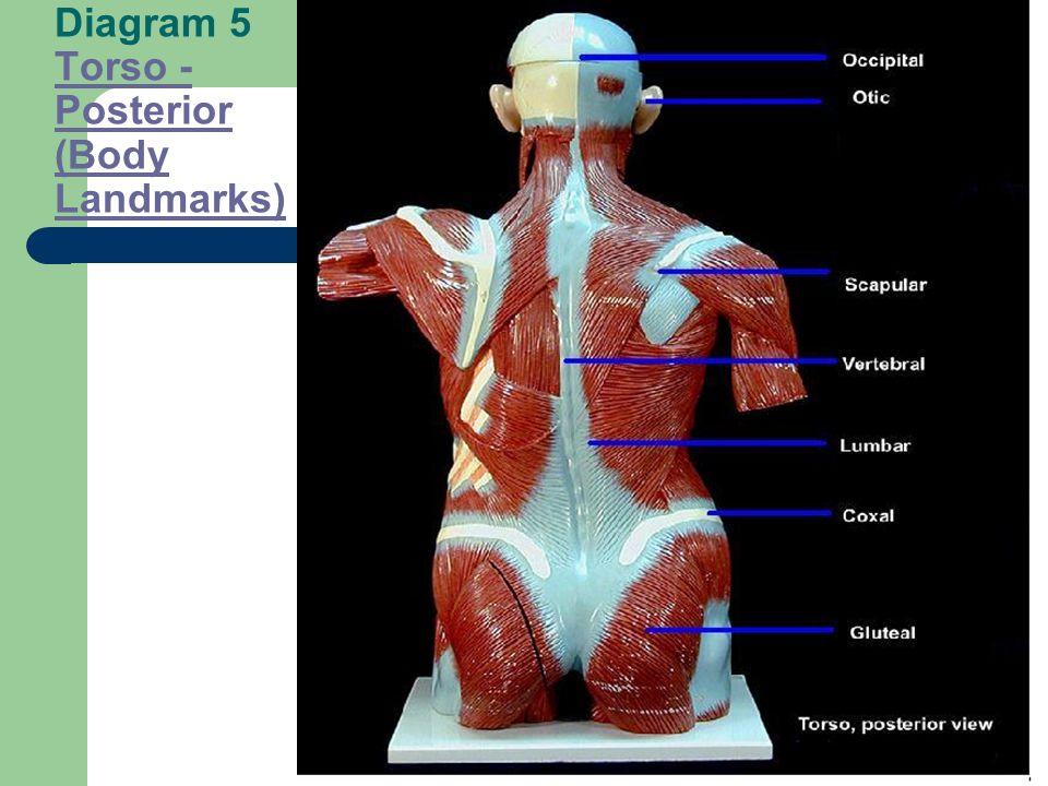 Diagram 4 Arm Landmarks