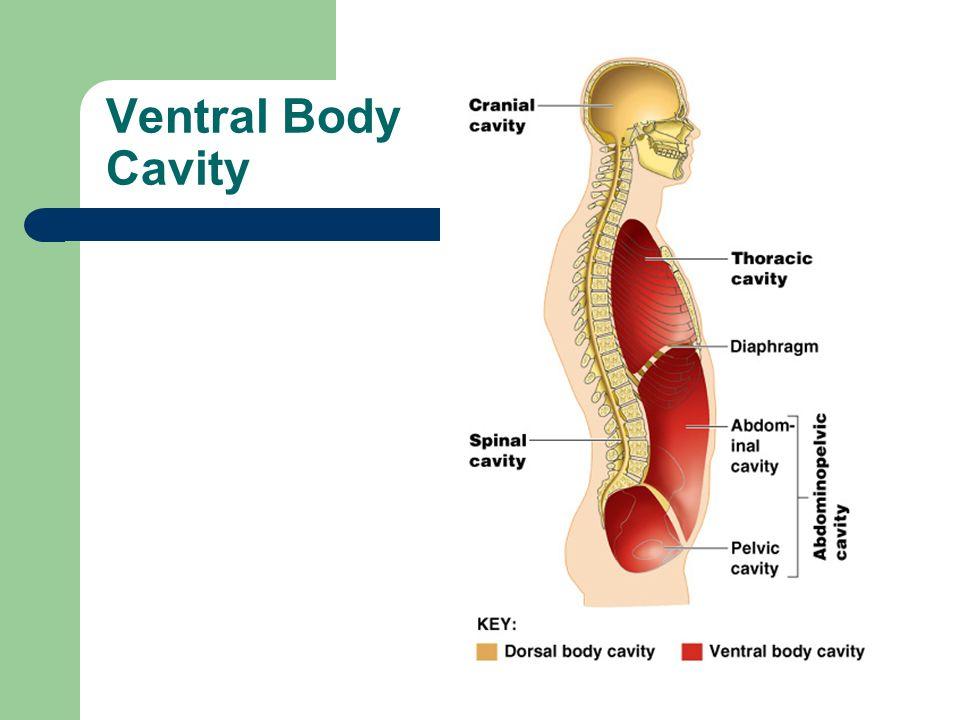 Dorsal Body Cavities