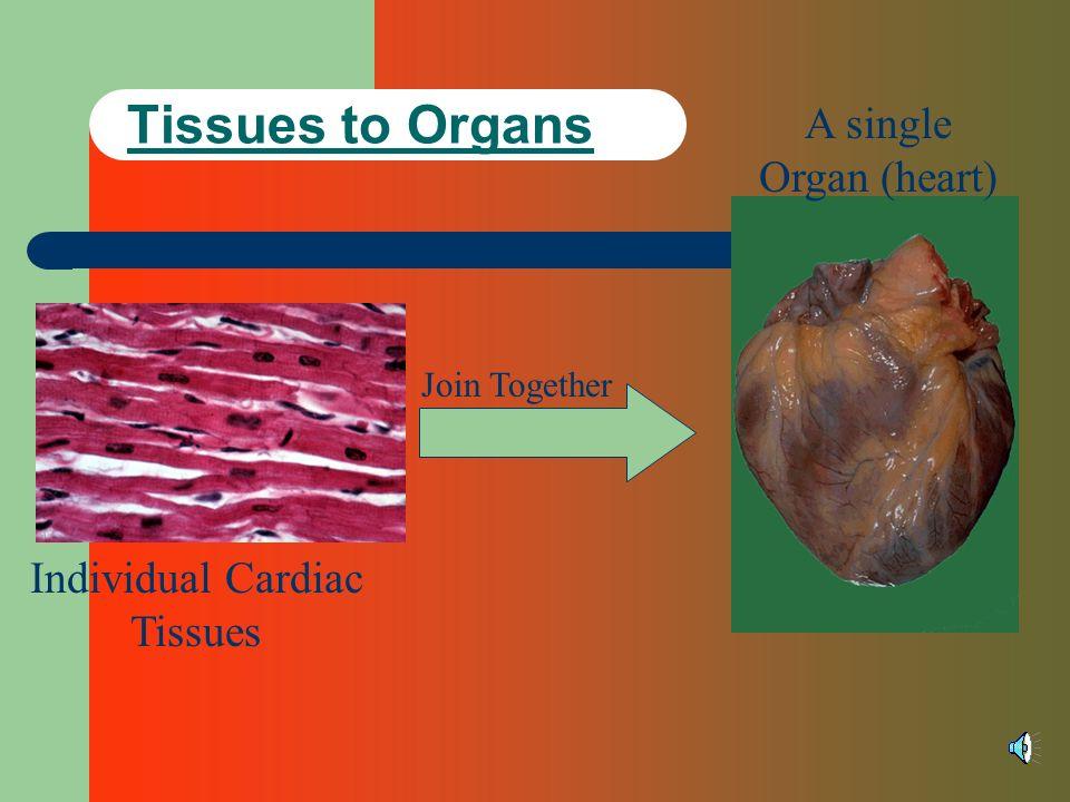 Tissues to Organs Individual Cardiac Tissues Join Together A single Organ (heart)