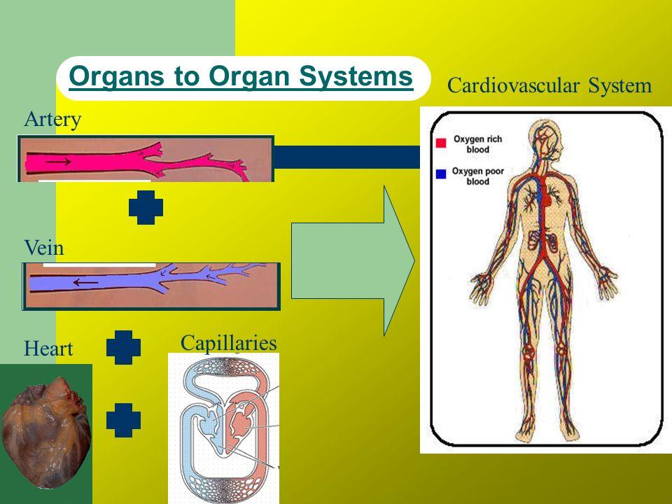 Organs to Organ Systems Artery Vein Heart Capillaries Cardiovascular System