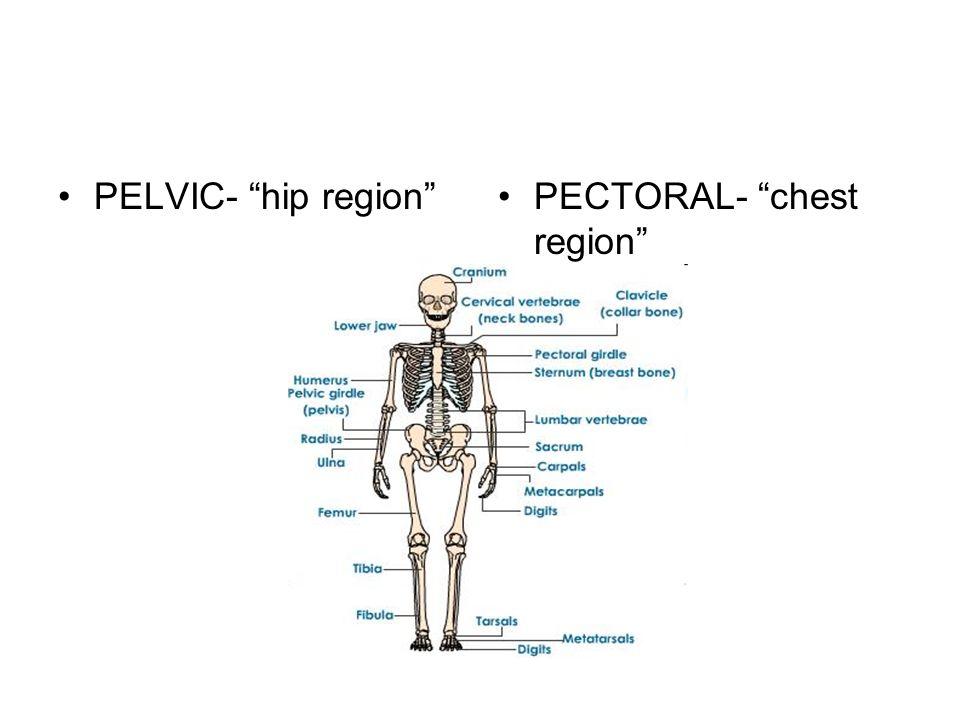 PELVIC- hip regionPECTORAL- chest region