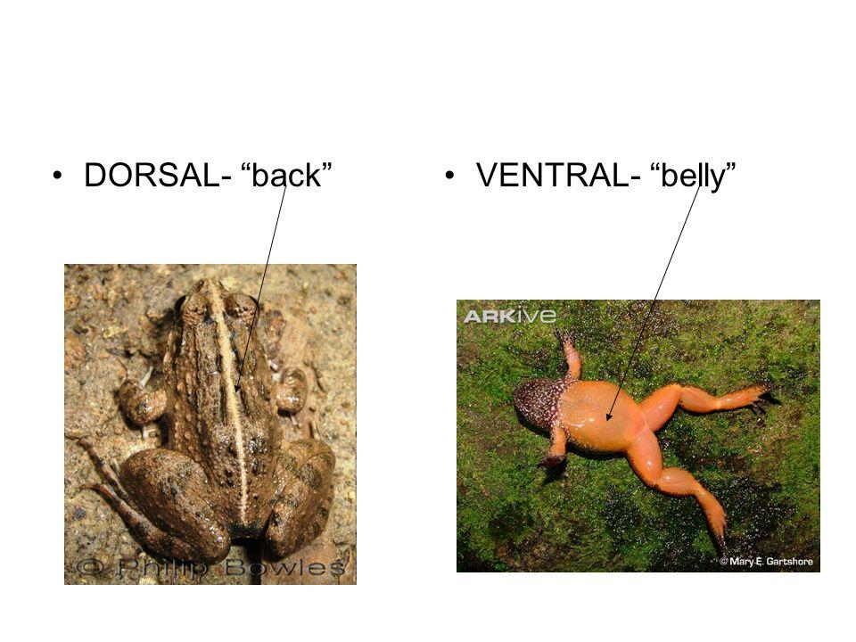 DORSAL- backVENTRAL- belly