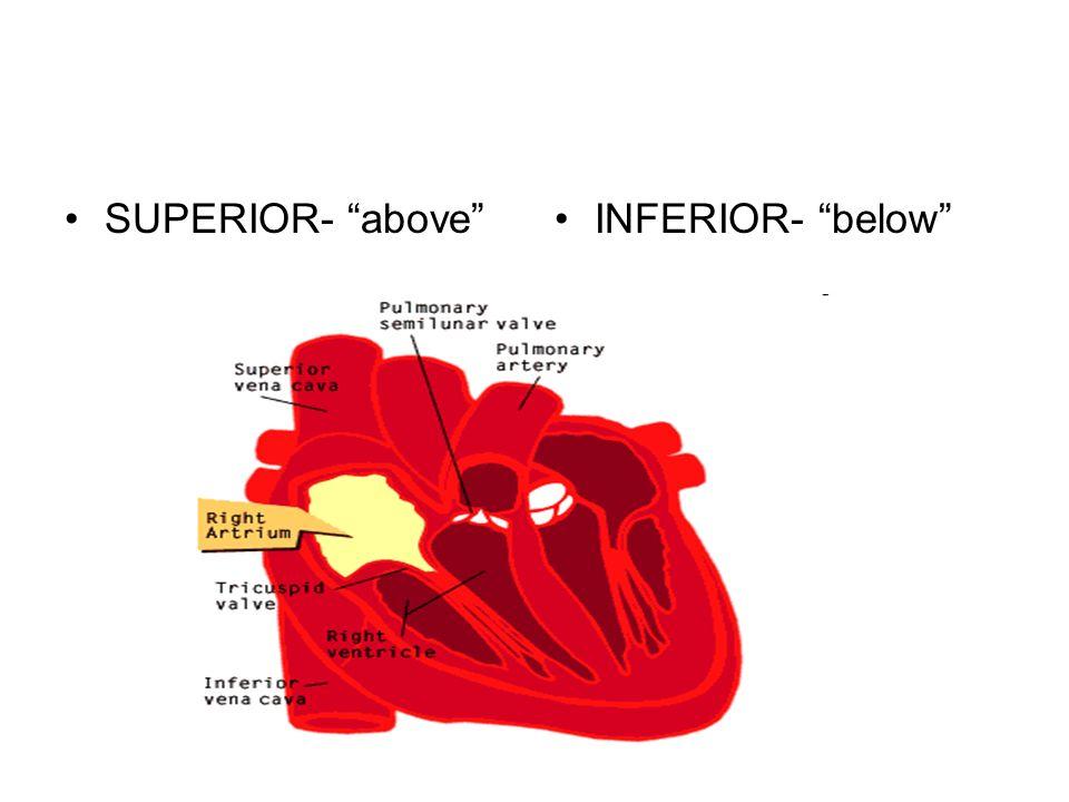 SUPERIOR- aboveINFERIOR- below