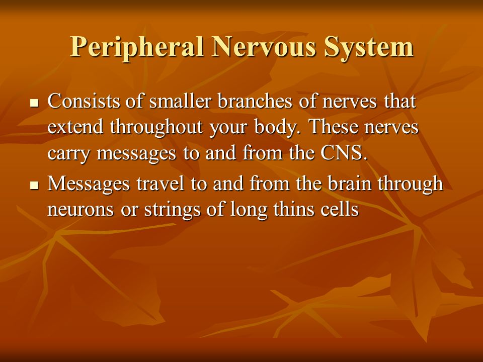 Peripheral Nervous System Consists of smaller branches of nerves that extend throughout your body. These nerves carry messages to and from the CNS. Co
