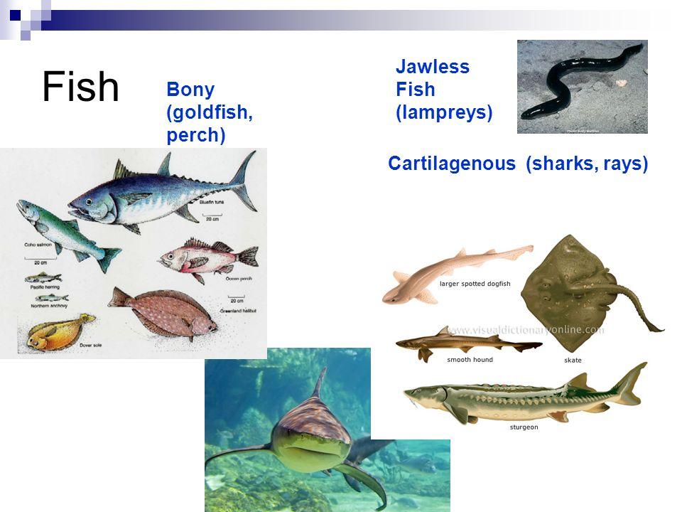 Fish Jawless Fish (lampreys) Cartilagenous (sharks, rays) Bony (goldfish, perch)