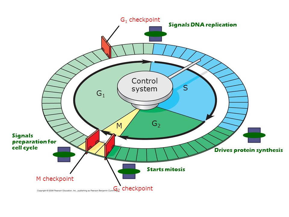 S G1G1 M checkpoint G2G2 M Control system G 1 checkpoint G 2 checkpoint Signals DNA replication Drives protein synthesis Starts mitosis Signals preparation for cell cycle