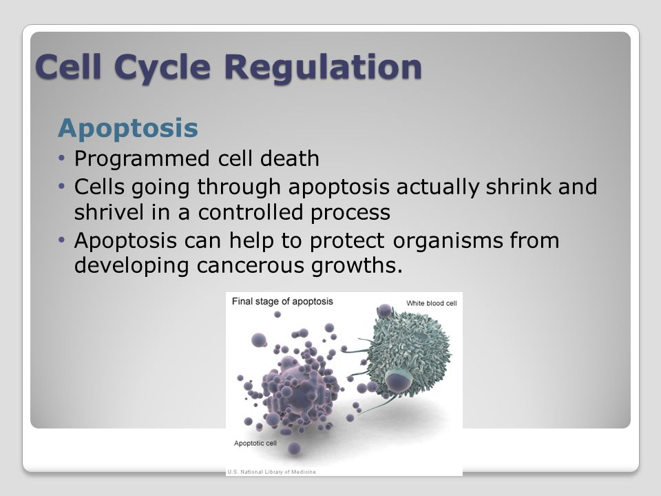 Cell Cycle Regulation Apoptosis Programmed cell death Cells going through apoptosis actually shrink and shrivel in a controlled process Apoptosis can help to protect organisms from developing cancerous growths.