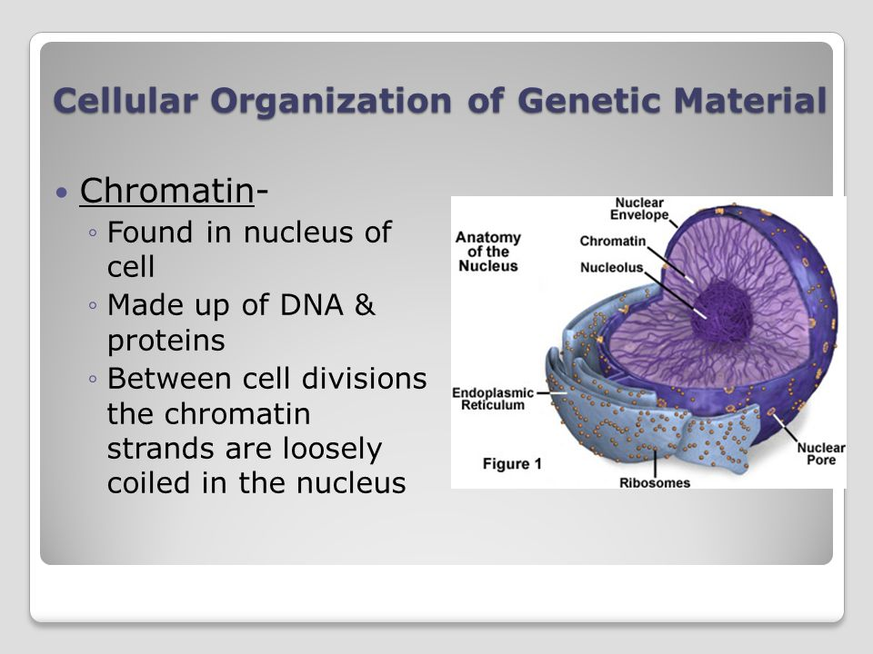 Cellular Organization of Genetic Material Chromatin- Found in nucleus of cell Made up of DNA & proteins Between cell divisions the chromatin strands are loosely coiled in the nucleus