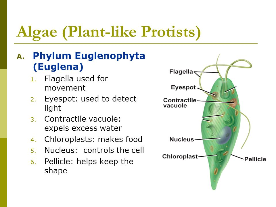 Algae (Plant-like Protists) A. Phylum Euglenophyta (Euglena) 1. Flagella used for movement 2. Eyespot: used to detect light 3. Contractile vacuole: ex