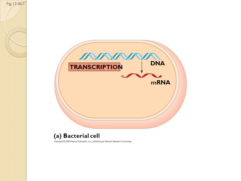 A primary transcript is the initial RNA transcript from any gene The central dogma is the concept that cells are governed by a cellular chain of comma