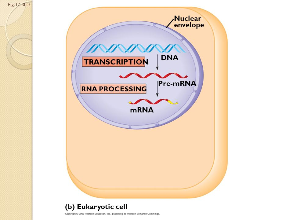 Fig. 17-3b-1 (b) Eukaryotic cell TRANSCRIPTION Nuclear envelope DNA Pre-mRNA