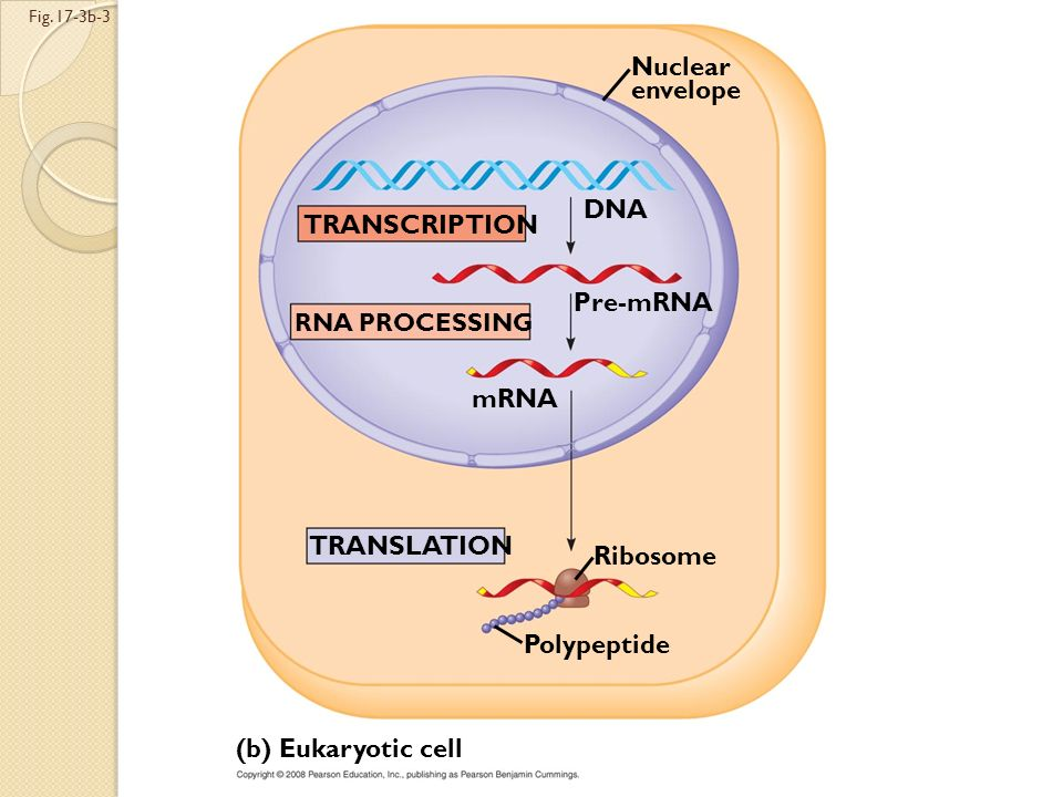 Fig. 17-3b-2 (b) Eukaryotic cell TRANSCRIPTION Nuclear envelope DNA Pre-mRNA RNA PROCESSING mRNA
