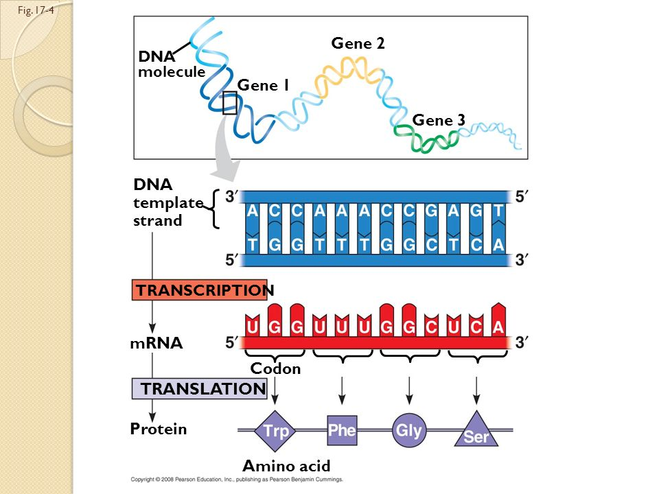 Codons along an mRNA molecule are read by translation machinery in the 5 to 3 direction Each codon specifies the addition of one of 20 amino acids