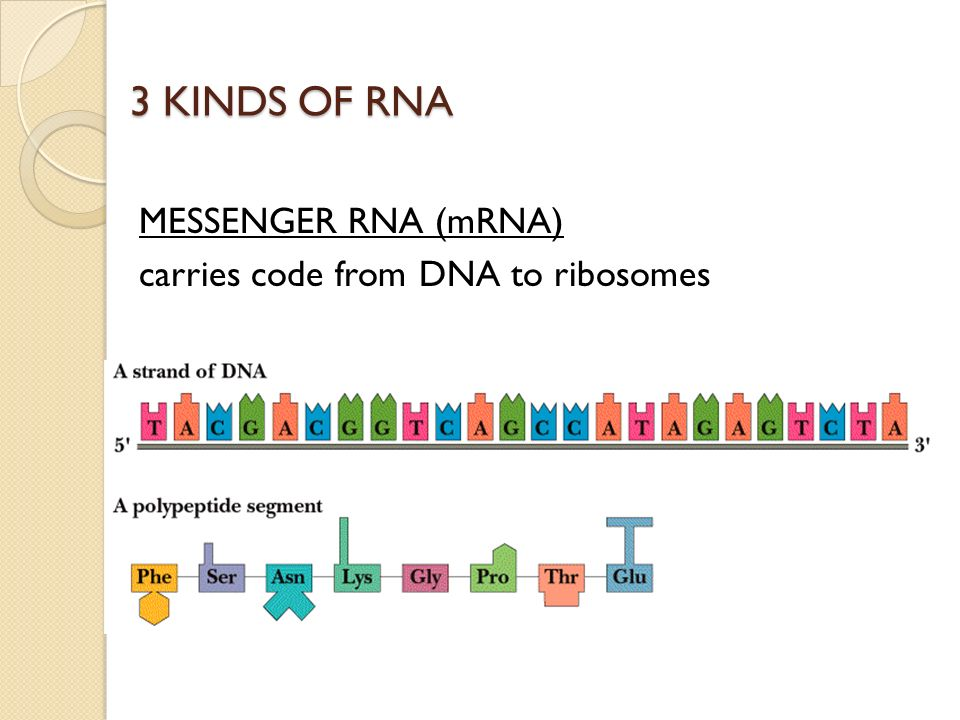 3 KINDS OF RNA TRANSFER RNA (tRNA) ANTICODON sequence matches CODON on mRNA to add correct amino acids during protein synthesis http://www-math.mit.ed