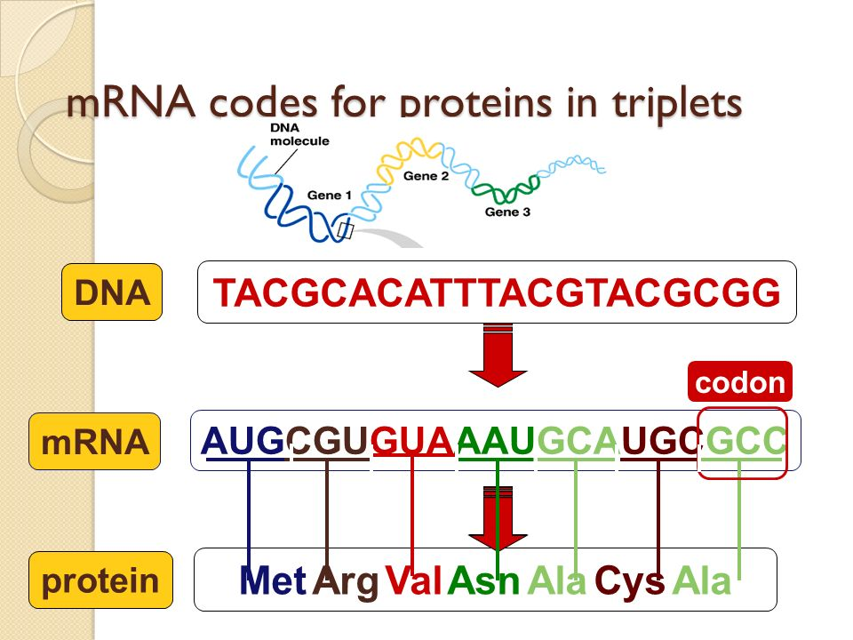 How does mRNA code for proteins? TACGCACATTTACGTACGCGG DNA AUGCGUGUAAAUGCAUGCGCC mRNA Met Arg Val Asn Ala Cys Ala protein ? How can you code for 20 am