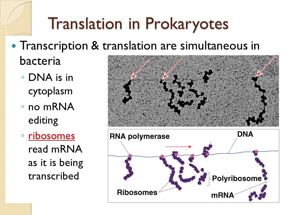 Prokaryote vs. Eukaryote genes Prokaryotes DNA in cytoplasm circular chromosome naked DNA no introns Eukaryotes DNA in nucleus linear chromosomes DNA
